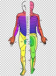 Dermatome Spinal Cord Injury Spinal Nerve Vertebral Column