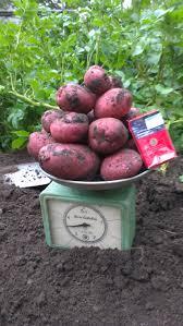 Курсовая работа ДИП голландцев по картошке ч Обновлено  Общий вес с лунки по два семенных клубня в лунке
