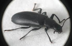 Black Beetle Identification Chart Big Black Basswood Bark Burrowing Beetles False Mealworm