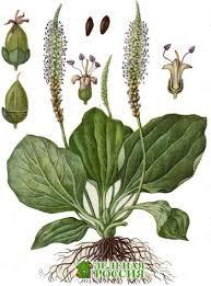 Подорожник старинное лекарственное растение Подорожник большой