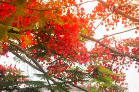 Image result for hoa phượng đỏ