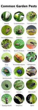 garden pest. Getting Rid Of Pests ORGANICALLY Is The Most Challenging Task For Every Gardener. So, Garden Pest
