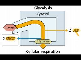 Glycolysis Flow Chart Videos Matching Glycolysis Pathway Easy Way Flow Chart Revolvy