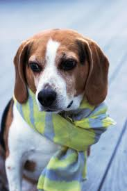 Elmo The Beagle Models Punkom Scarf Beagle Beagle Hound And Dog