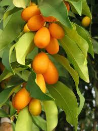 Kumquat Dwarf Citrus  Great For Pots  Terra  Zone 10 Kumquat Tree Not Bearing Fruit