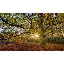 Holland Fotobehang Oude Beukenboom 2032
