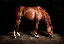 professional horse face photography. Contemporary Photography Horse Photography  In Professional Face R