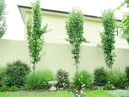 Small Picture Garden Design Adelaide Manchurian Pears Underplanted With