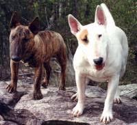 miniature bull terrier vs standard.  Bull Bull Terrier And Mini On Miniature Vs Standard R