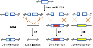 Genome Editing Talen Mediated Genome Editing Mouse Models Creative Biolabs