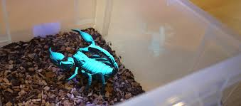 Why Do Scorpions Glow Under Uv Light Why Do Scorpions Glow Under Uv Light Sciencedipity Devon