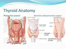 Thyroid Anatomy Thyroid Anatomy Magdalene Project Org
