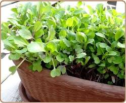 container gardening vegetables. Microgreens In Pots Container Gardening Vegetables