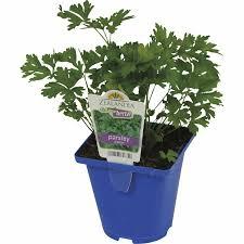 growfresh pot parsley italian 10cm green