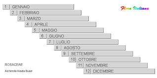 Alchemilla lineata [Ventaglina elegante] - Flora Italiana