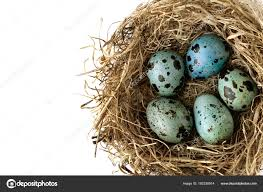 Light Blue Eggs In Nest Quail Egg Paint Color Painted Light Blue Color Quail Eggs