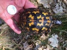 box turtle size whats up with wellfleet bays box turtles field notes citizen