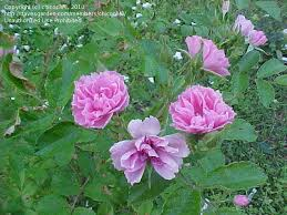 plantfiles pictures hybrid rugosa rose pink grootendorst 1 by chicochi3
