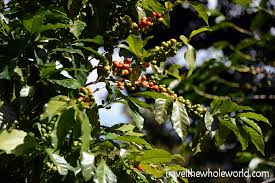 el salvador cerro verde coffee plant