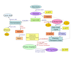 Glycolysis Flow Chart Cellular Respiration Glycolysis And Flow Chart