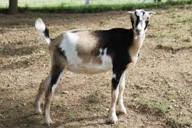 The All American Lamancha The Milking Goat For Me Diary