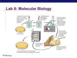ap biology lab review ap biology iuml sect description iuml micro to breed ap biology lab 7 mitosis meiosis essay 1987 discuss the process of cell division