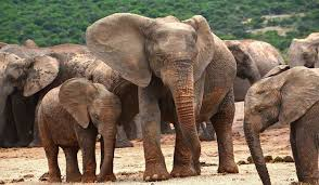 How Many Types Of Elephants Are There Worldatlas Com