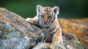cute wild baby animal wallpaper. Baby Animal HD Wallpaper Pictures New Wallpapers In Cute Wild