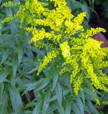 Image result for goldenrods