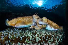 ocean art contest winners underwater photography guide cuttlefish in love