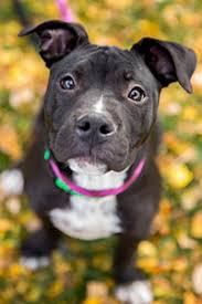 terrier pitbull puppies. Interesting Puppies Female Pitbull Puppy Wearing A Pink Collar With Terrier Pitbull Puppies C