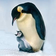 emperor penguins eating.  Eating Emperor Penguin With Penguins Eating SeaWorldorg