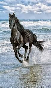 beautiful horses running in water. Fine Water Horse Running In Water To Beautiful Horses Running In Water