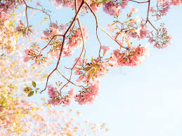 pink trumpet tree and tabebuia rosea stock photo image of colorful rosy