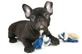 French Bulldog Height Chart French Bulldog Dog Breed Information