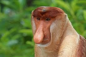 Long Nose Proboscis Monkey The Rare Borneo Monkey Species With An