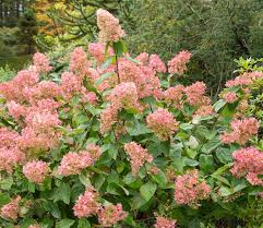 Small Picture Sheenas Plant of the Month for August Hydrangea paniculata