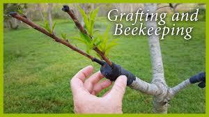 35 Best Grafting Fruit Trees Images On Pinterest  Grafting Fruit How To Graft Fruit Trees With Pictures