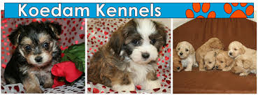 puppies for mixed breed dogs shi tzu bichon poodle koedam kennels iowa