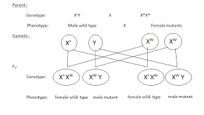 lab report museum report drosophila in drosophila the sex is determined by the number of copies of the x chromosome an individual that has two x chromosomes is female and an individual