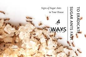 how to get rid of sugar ants fast 4 ways to eradicate these pesky ants pestwiki