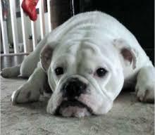 white english bulldog. Fine English Female Bulldog In White English D