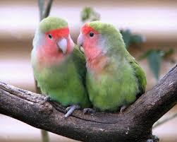 lovebirds birds guide