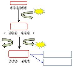 similiar simple cellular respiration diagram keywords simple cellular respiration diagram printable wiring diagram