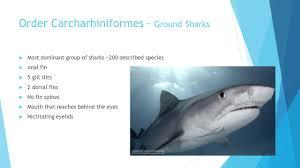 tiger shark galeocerdo cuvier megan murphy order  2 order carcharhiniformes ground sharks  most dominant group of sharks ~200 described species  anal fin  5 gill slits  2 dorsal fins  no fin