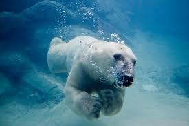 Image result for polar bear