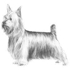 silky dog. general appearance silky dog