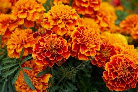 marigold flowers orange dream team s portland garden pixabay