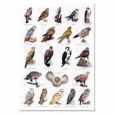 Animals Postcard British Birds Of Prey The Barn Owl