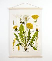 Botanical Illustrationmedium Botanical Dandelion Pull Down
